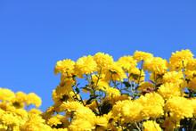 青空と黄色い菊
