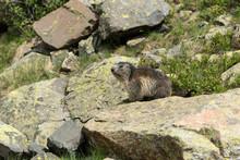 Marmotte Assise Sur Un Rocher
