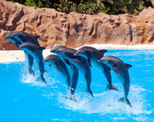 Dolphins At The Water Park Of Tenerife