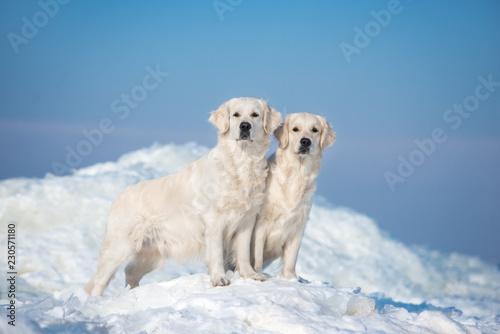 Obraz na płótnie two golden retriever dogs standing on ice in winter