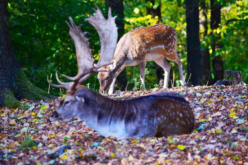Fototapeta fallow deer in the forest obraz