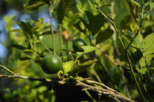 Calamondin Or The Botanical Name Known As Citrofortunella Microcarpa. Calamondin Fruit Is Commonly Used As A Seasoning To Food.