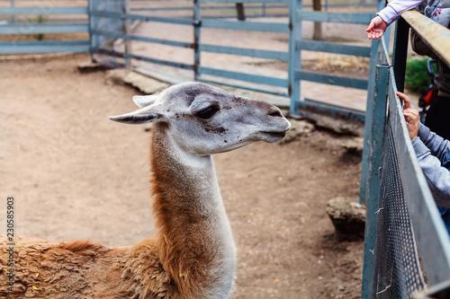 Staande foto Lama kids at the zoo are looking at llama