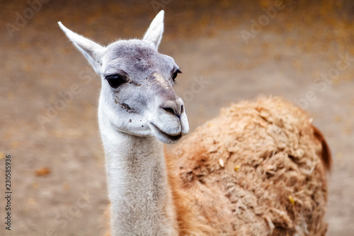 Spoed Foto op Canvas Lama portrait of llama