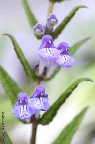 Photo  Marsh skullcap, Scutellaria galericulata