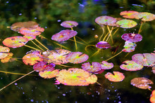 Picturesque Leaves Of Water Li...