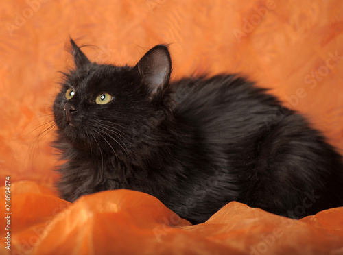 Fotografia black fluffy cat on orange