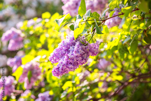 Blossoming spring bright pink lilac flowers on a sunny branch, natural seasonal floral background