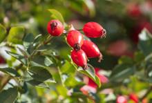 Red Rosehip Berries In A Veget...