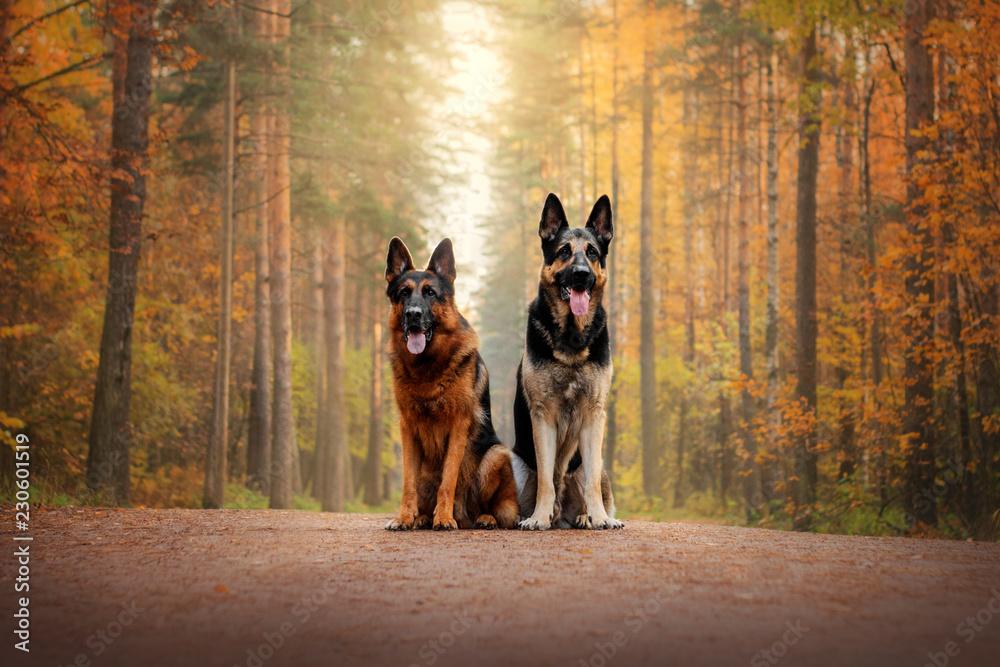Fotografie, Obraz German Shepherd Dog and East European Shepherd Dog for a walk in the autumn fore