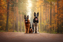 German Shepherd Dog And East E...
