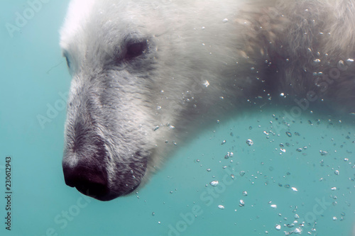 Fotobehang Ijsbeer Head of Polar bear (Ursus maritimus) under water. Polar bears are excellent swimmers and often will swim for days. They may swim underwater for up to three minutes to approach seals on shore.