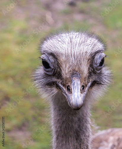 Closeup portrait of common ostrich (Struthio camelus), or simply ostrich, showing its large eyes and long eyelashes, its flat, broad beak, and its nostrils. This flightless bird is native to Africa.
