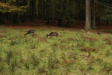 A Pack Of Sika Deers In Forrest
