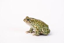 Bufotes Viridis (European Green Toad, Green Toad)
