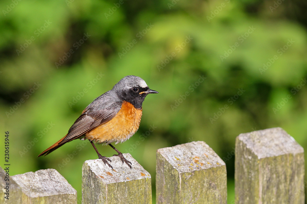 Fototapeta Common Redstart (Phoenicurus phoenicurus) on garden fence