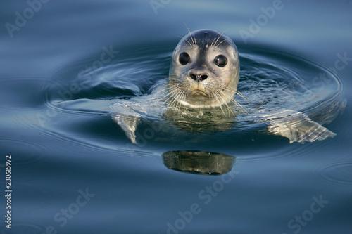 Leinwand Poster Common Seal Portrait