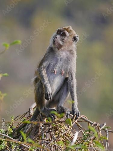 Monkey in natural habitat