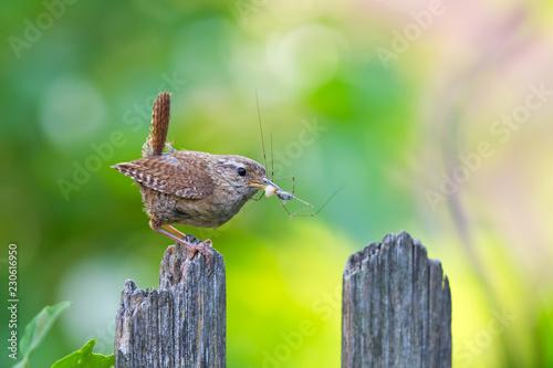 Foto Zaunkönig (Troglodytes troglodytes) Altvogel mit Spinne im Schnabel sitzt auf Ga