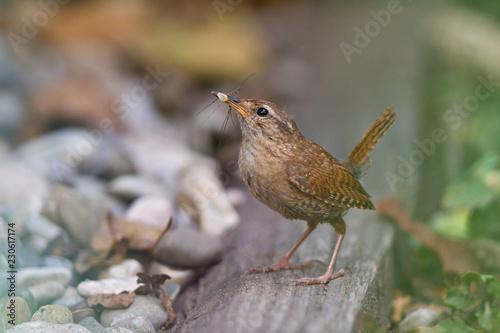 Fotografie, Obraz  Zaunkönig (Troglodytes troglodytes) Altvogel mit Spinne im Schnabel