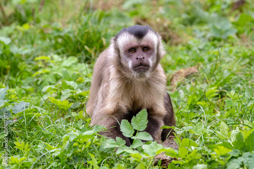 Tufted capuchin monkey portrait Fototapeta