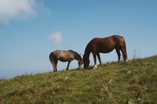 Horses Grazing On Hill