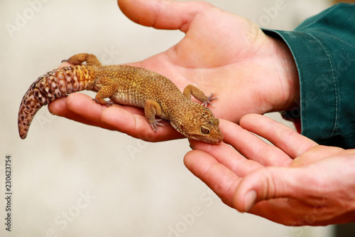 Guy with gecko. Man holds in hands reptile gecko. Common leopard reptile gecko of pets. Exotic tropical cold-blooded animals, zoo. Male hands is holding common gecko. Pet at home gecko.