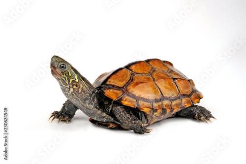 Chinesische Dreikielschildkröte (Mauremys reevesii) - Chinese pond turtle