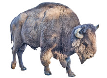 Large Bison Isolated On White