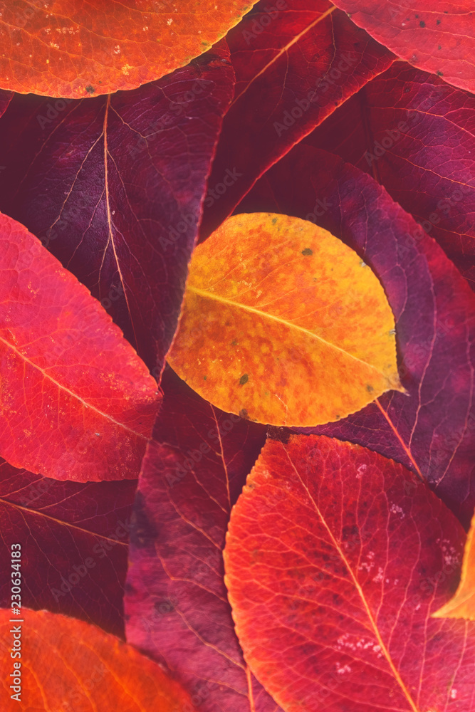 Fototapety, obrazy: Red and yellow autumn leaves background / texture