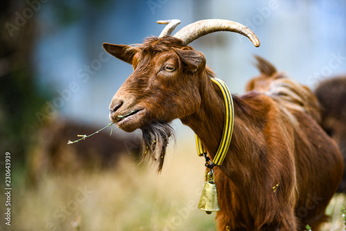A goat grazing in a pasture with a bell on his neck.