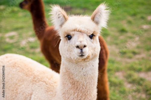 Poster Lama White funny alpaca looking at the camera on green field