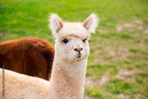 Poster Lama White funny alpaca looking at the camera on green field, copy space