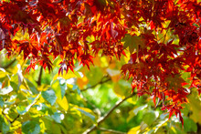 Red Acer Palmatum, Commonly Known As Palmate Maple, Japanese Maple Or Smooth Japanese-maple Leaves. Leaves Changing Its Colour When Autumn .