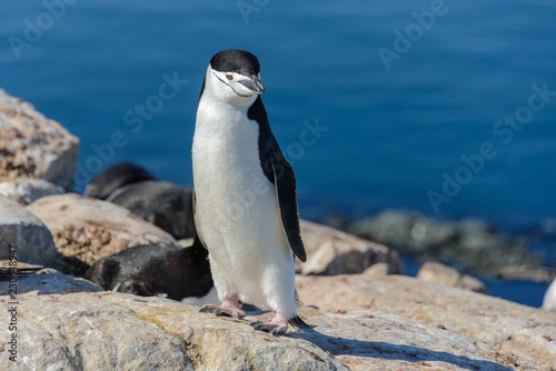 Foto op Canvas Pinguin Chinstrap penguin on the beach in Antarctica