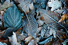 Detailed Close Up Of Frozen Leaf Early In The Morning In Winter