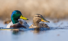 Pair Of Male And Female Mallards In Sync Swimming With Turned Heads Over Some Water Pond In Spring