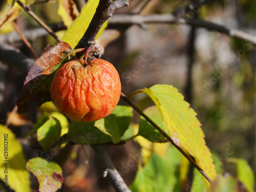 Photo  The last red shriveled apple on a branch in late October on a warm sunny day clo