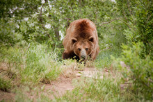This Grizzly Or Brown Bear Tak...