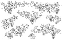 Hand Drawn Grape Branches Set