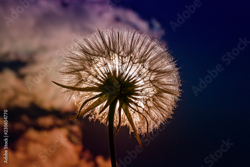 Foto op Plexiglas Paardenbloem beautiful flower dandelion fluffy seeds against a blue sky in the bright light of the sun