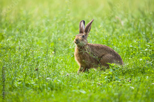 European Brown hare in meadow