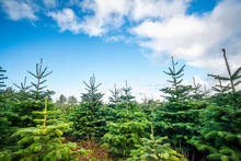 Pine Tree Plantation With Small Trees
