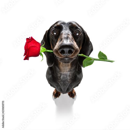 Fotobehang Crazy dog valentines dog in love