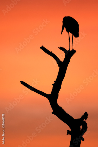 Photo  Marabou stork perched on dead tree at dawn or dusk