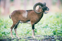 Mouflon Ram On Hillside In Forest.