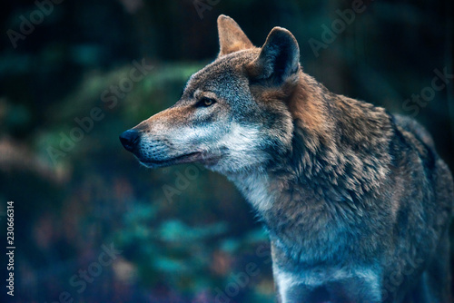 Eurasian wolf in forest. Side view.
