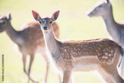 Fallow deer young in sunny meadow.