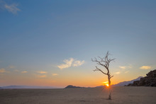Dry Camelthorn Tree At Sunrise