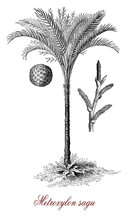 Vintage Botanical Engraving Of The True Sago Palm Native To Tropical Asia Important Food Source And Main Source Of Sago, A Starch Obtained From The Trunk Used In Cooking And As A Thickener